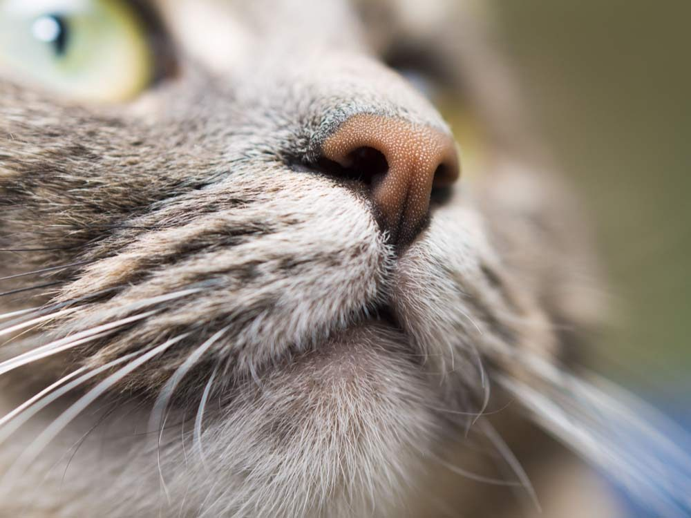 Close-up of cat nose