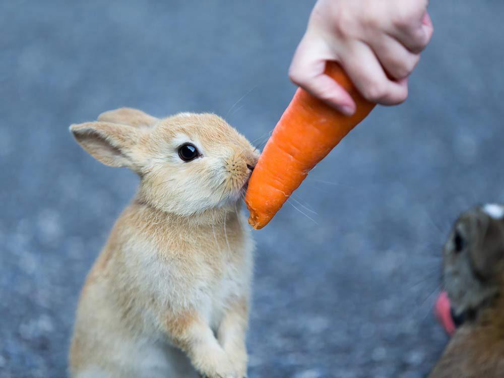 Feeding carrot to a bunny