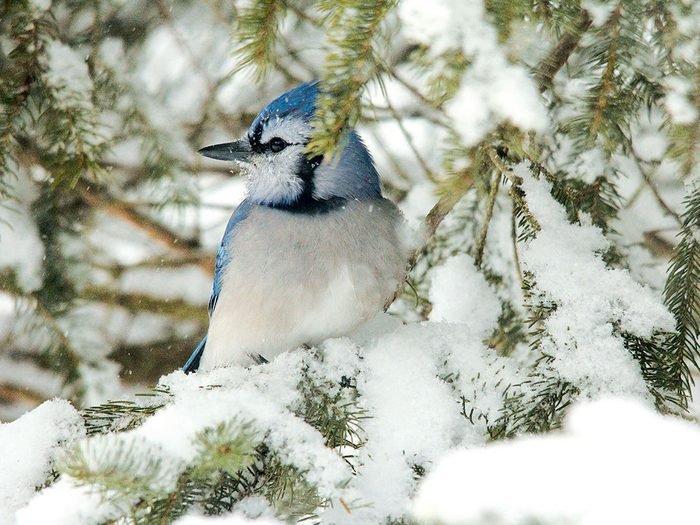 Photographing blue jays in my own back yard