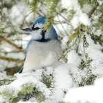 Bird Watching in My Own Back Yard: Photographing Blue Jays in Winter