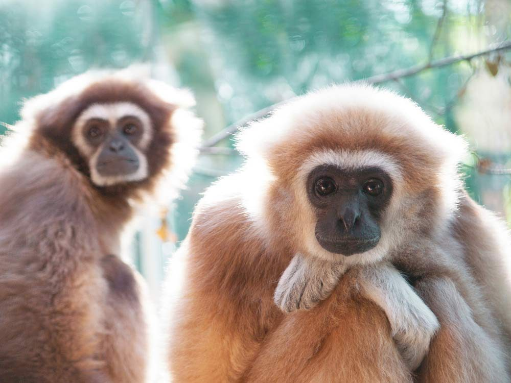 Gibbon monkeys