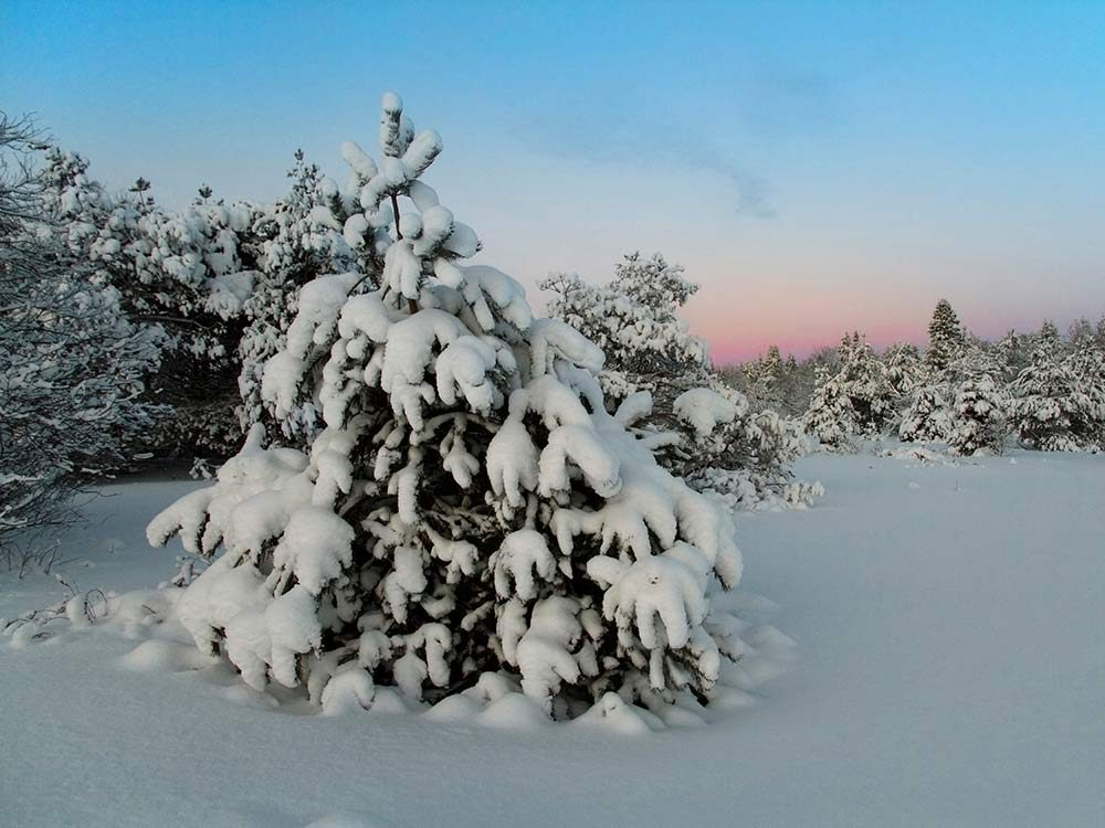 Snowed covered tree outdoors in winter