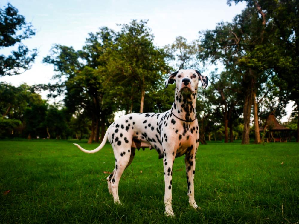 Dalmatian dog in field