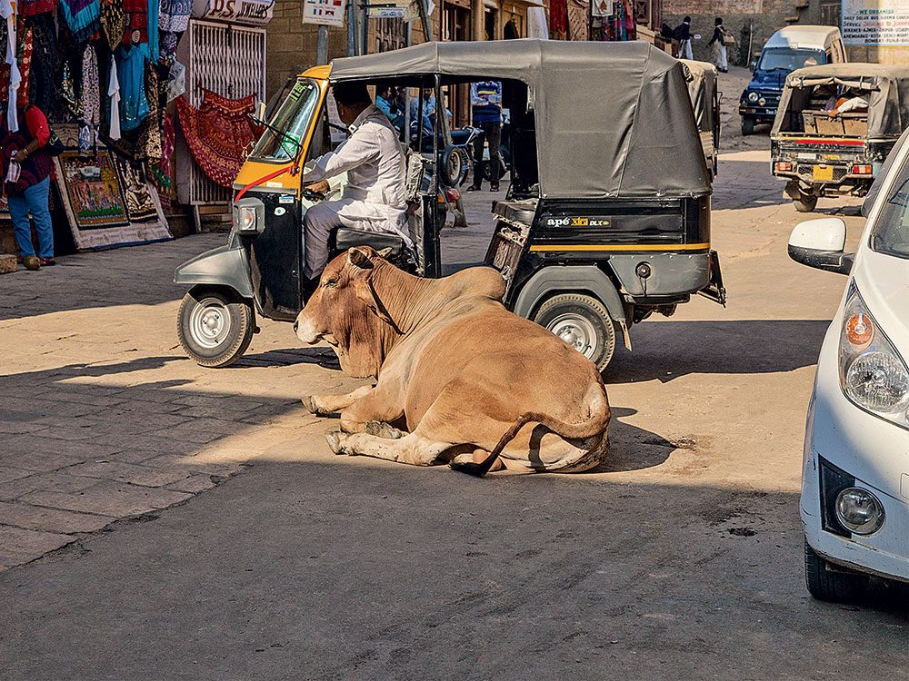 Sacred cow resting in the middle of busy India street