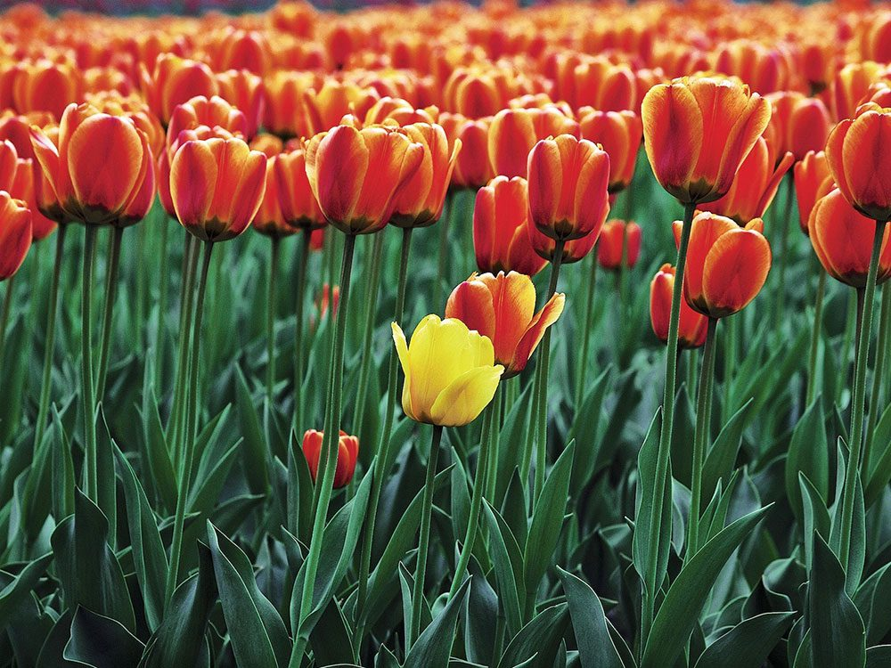 Field of Gabor tulips