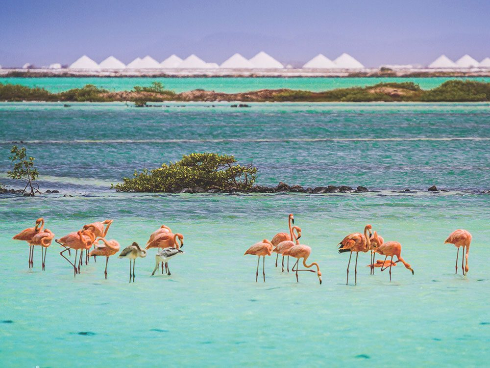 Pink flamingos of Bonaire