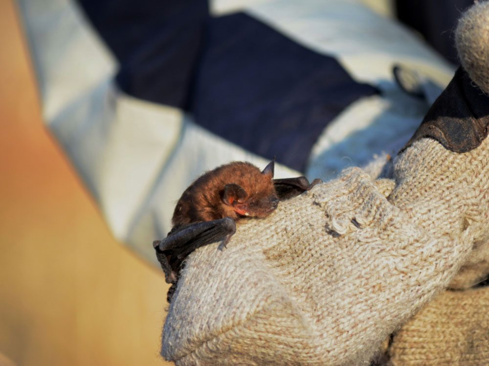 Rescued brown bat
