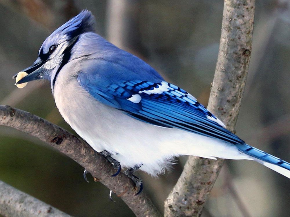 Blue jay about to eat a peanut