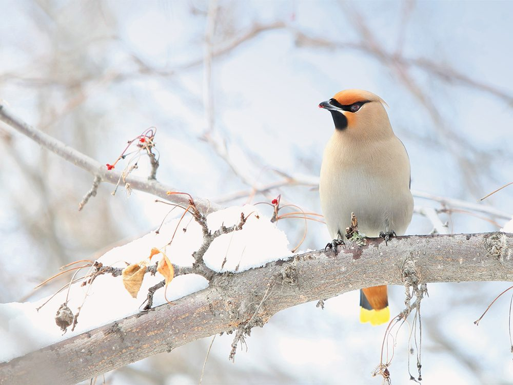 Types of birds in Canada: Bohemian Waxwing