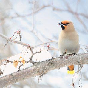 Types of birds in Canada: Bohemian Waxwing