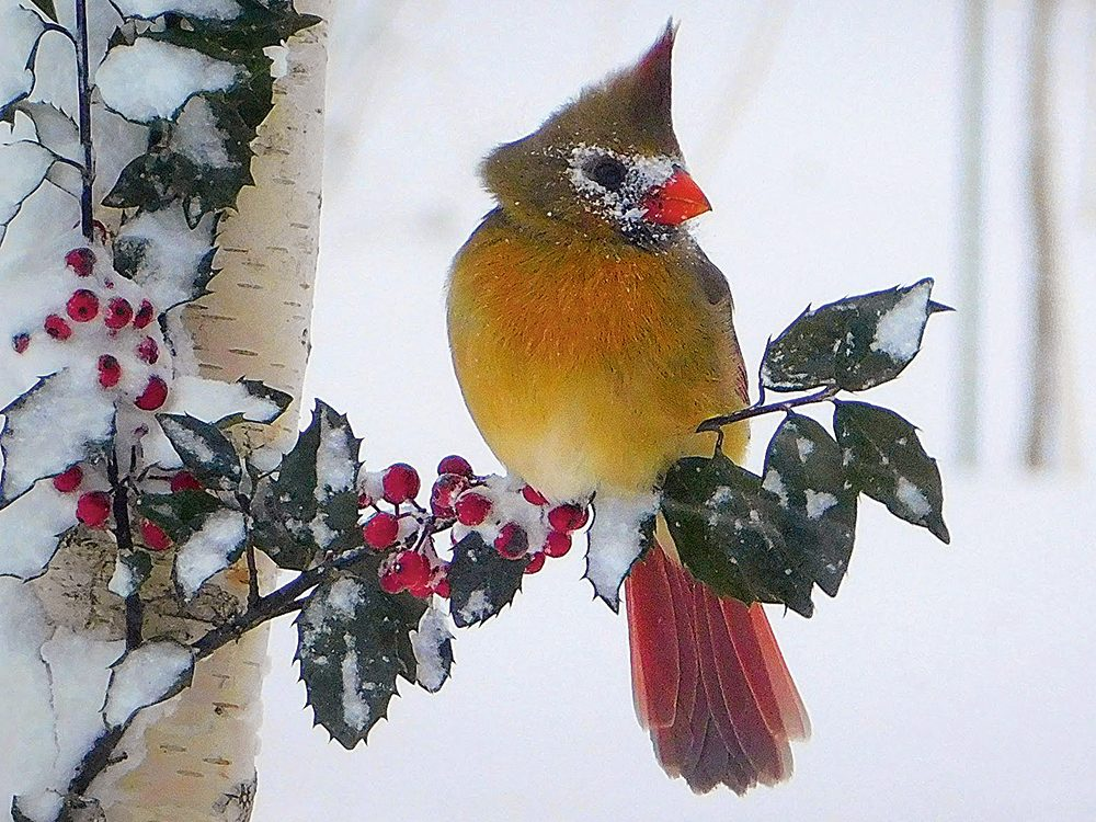 Types of birds in Canada: Northern Cardinal