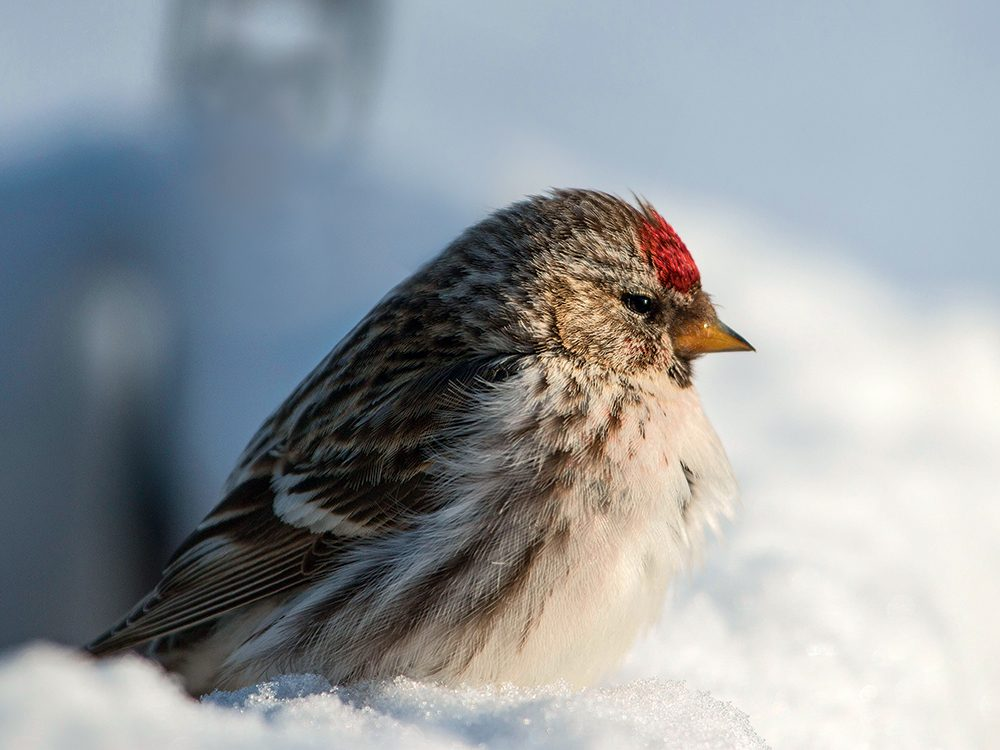 Types of birds in Canada: Redpoll