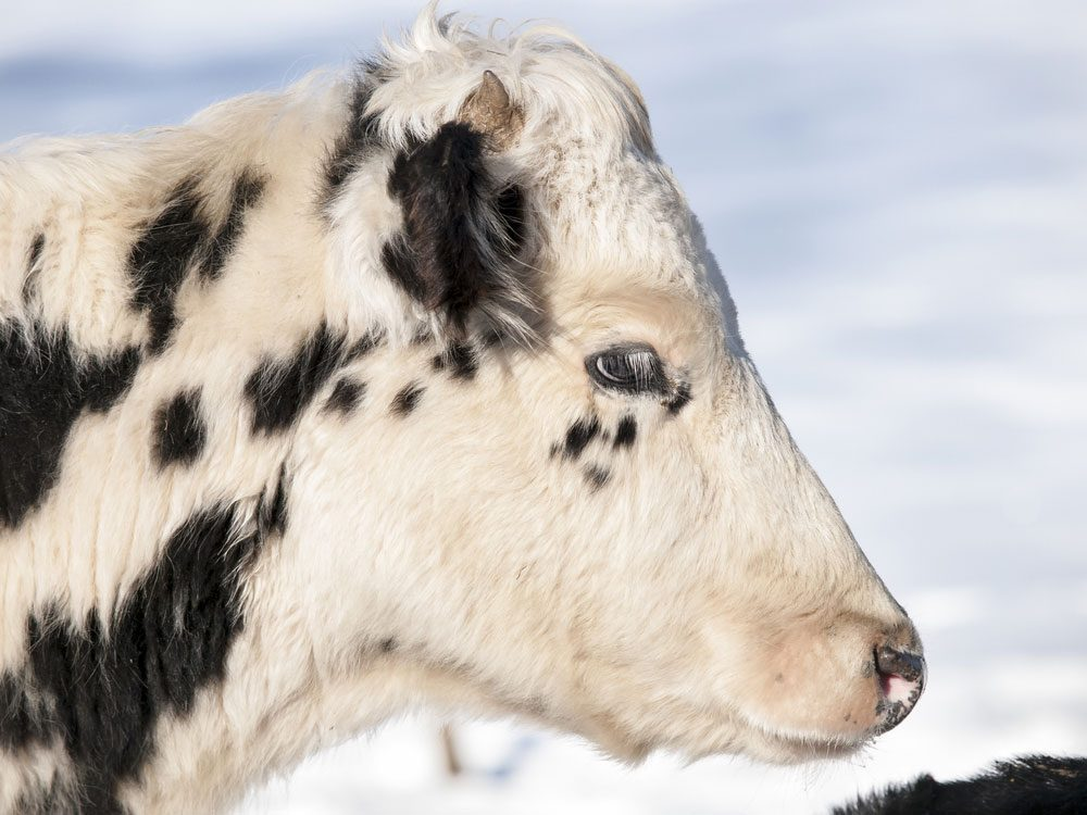 Holstein calf in winter