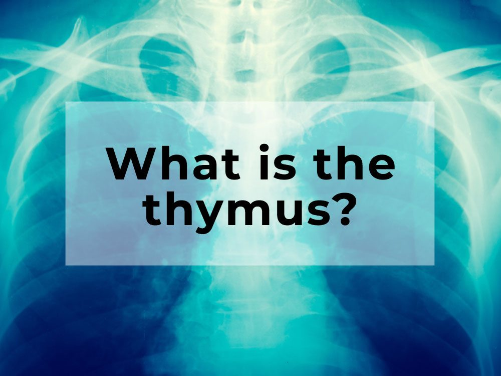 What is the thymus?