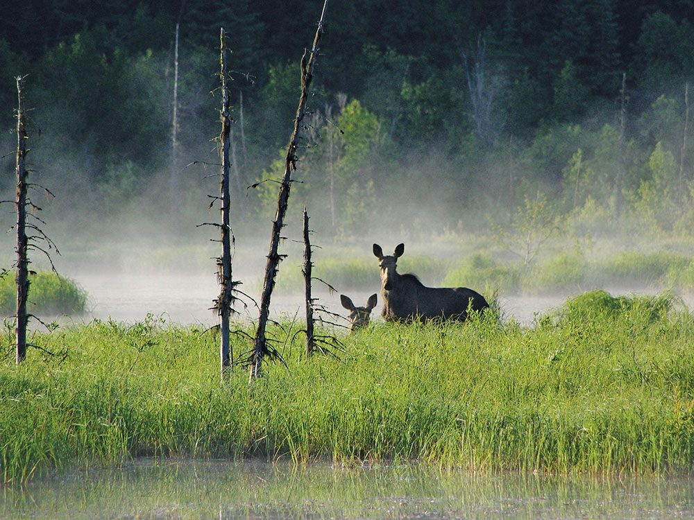 Cow moose and her two calves