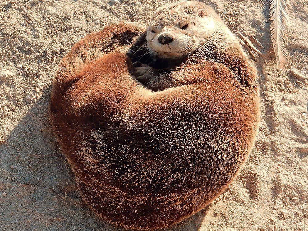 Sleeping otter
