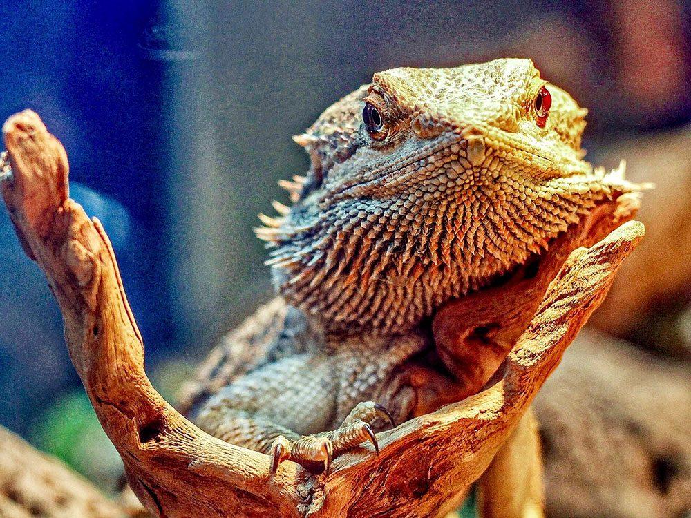 Bearded dragon in aquarium