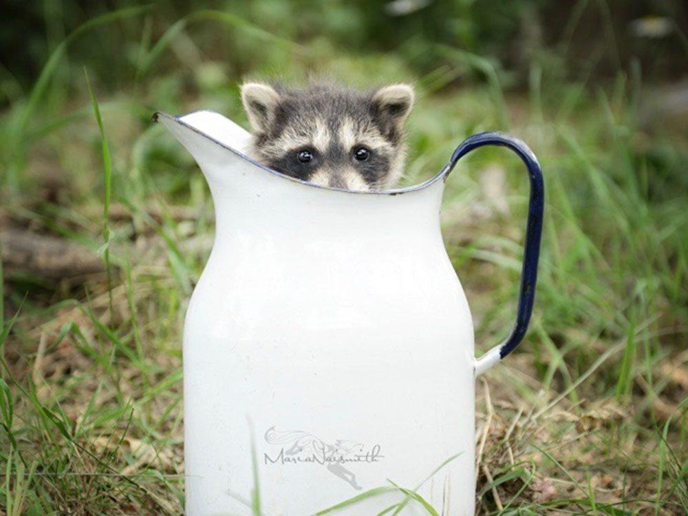 Cute orphaned racoon