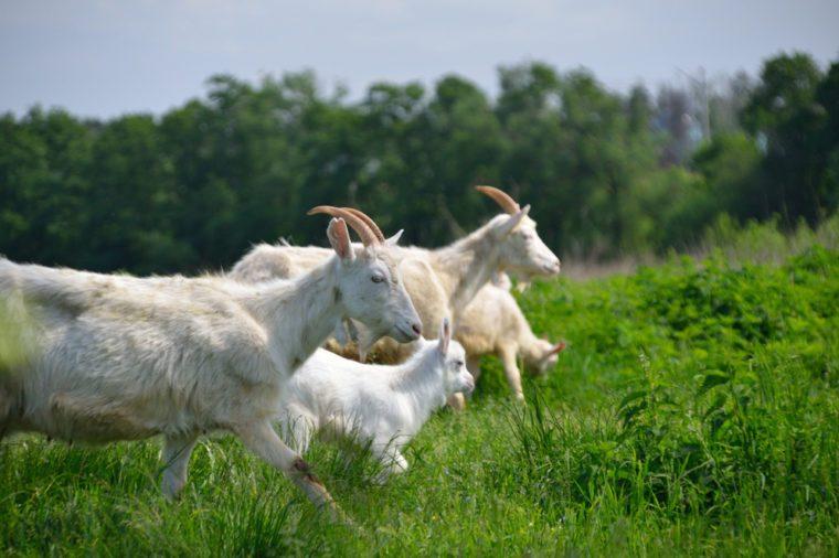 Goats running in field