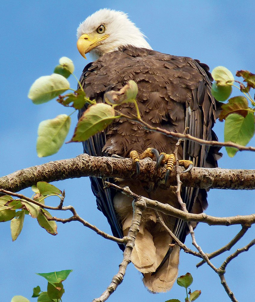 Canadian bird stories: bald eagle