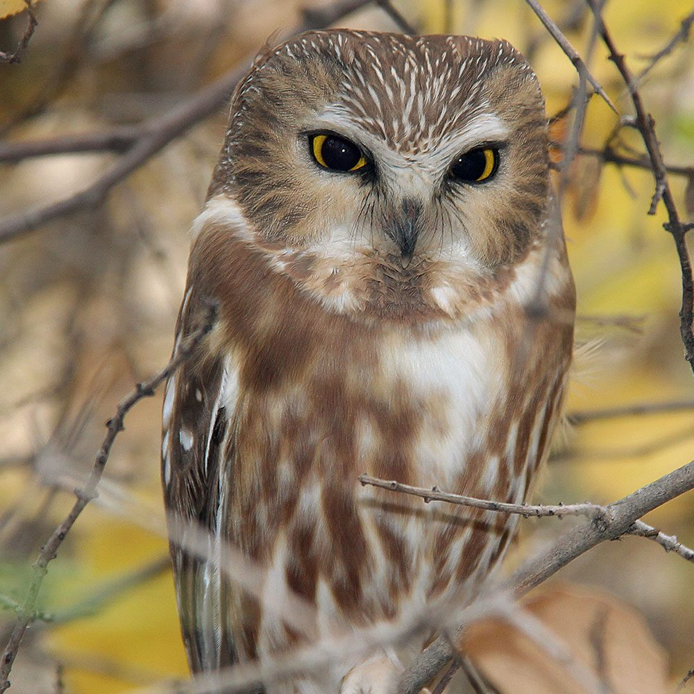 Canadian bird stories: Owl