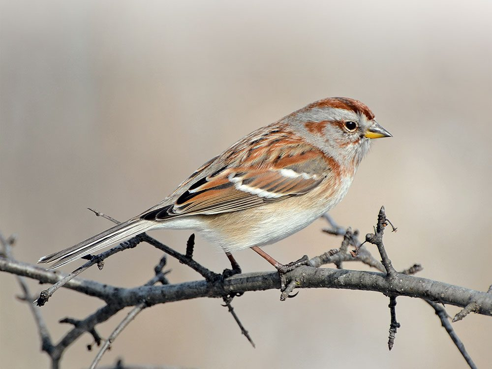 Canadian bird stories: Sparrow