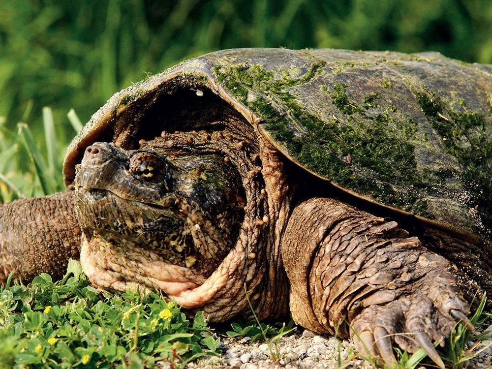 Snapping turtle in MacGregor Point Provincial Park