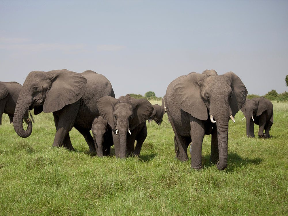 Group of African elephants