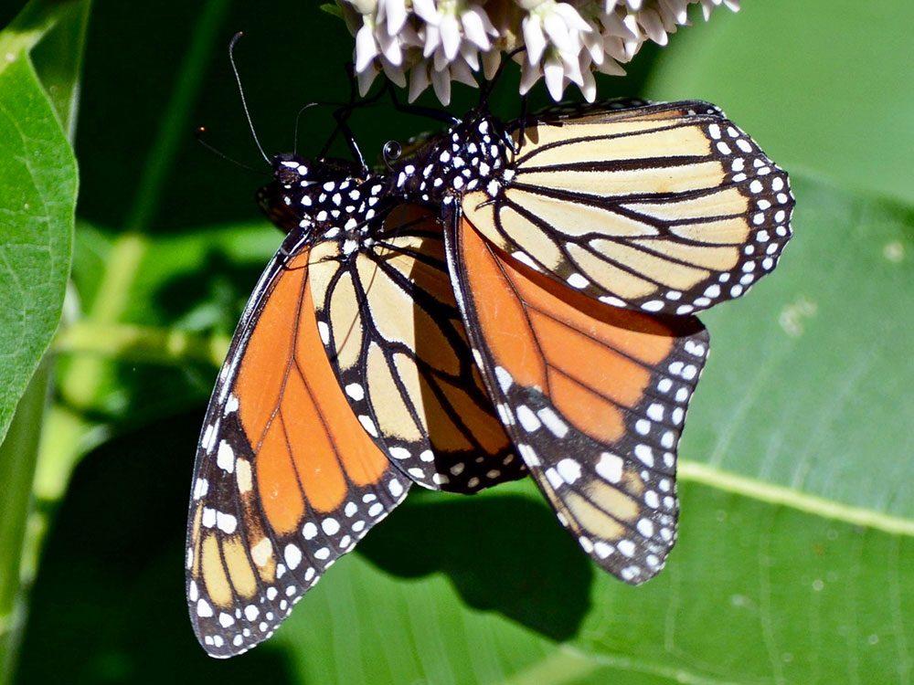 Two lookalikes butterflies