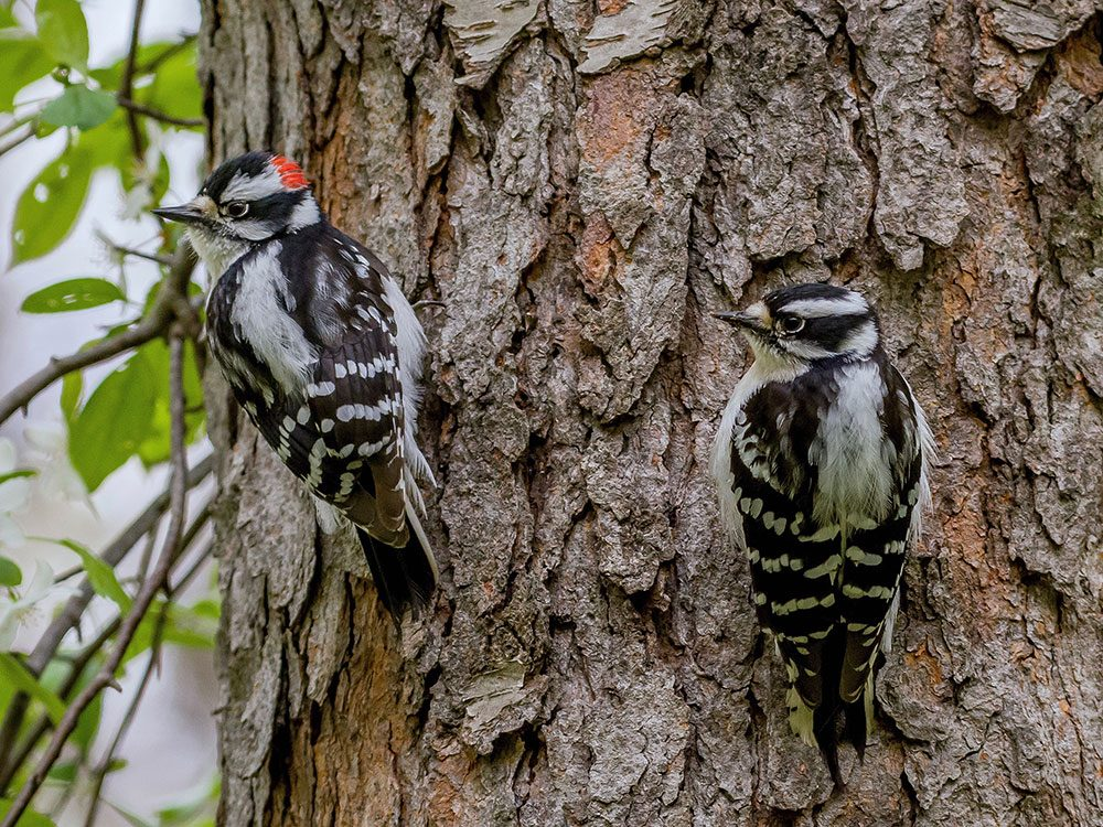 A pair of woodpeckers