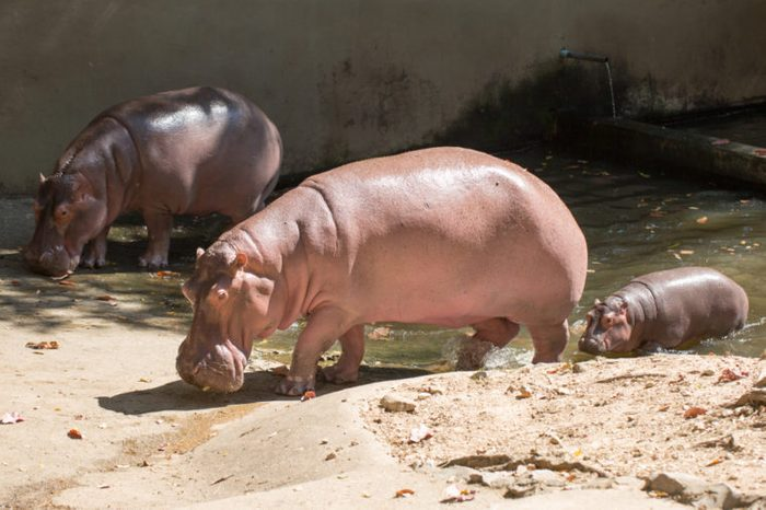 Family of hippos on a walk