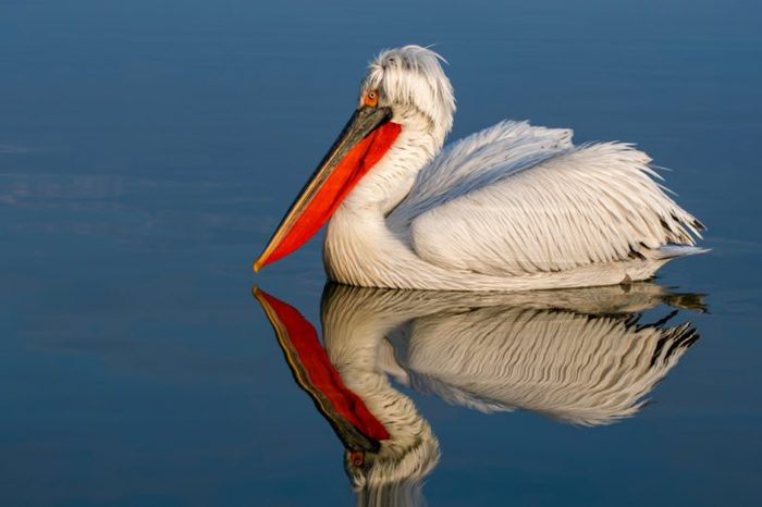 Dalmatian pelican water reflection