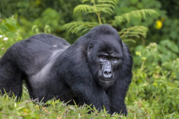 Silver back male of eastern gorilla in rain forest.