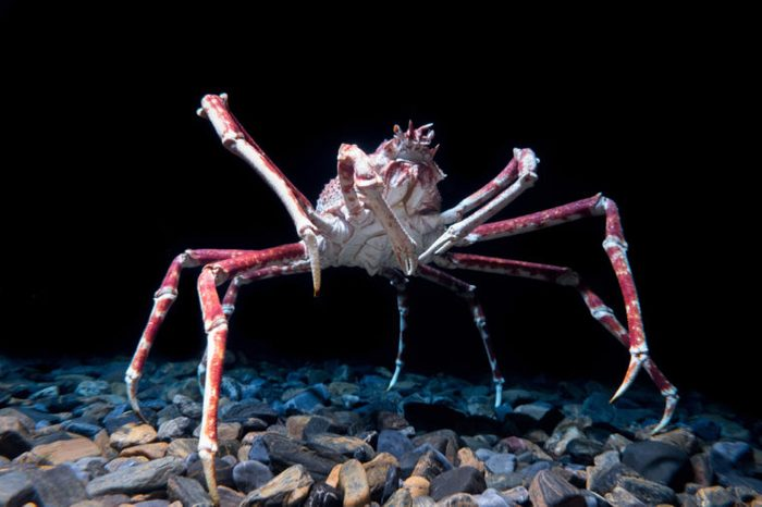 Giant Spider Crab on black background