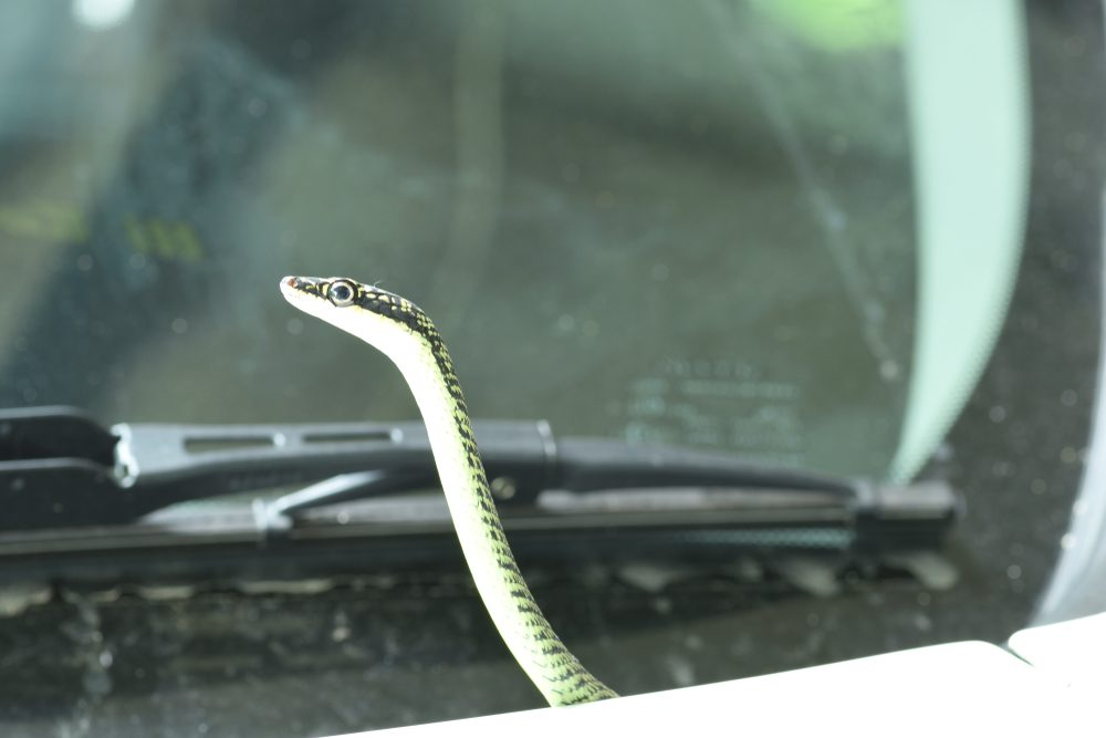 Mechanics found a snake in this car