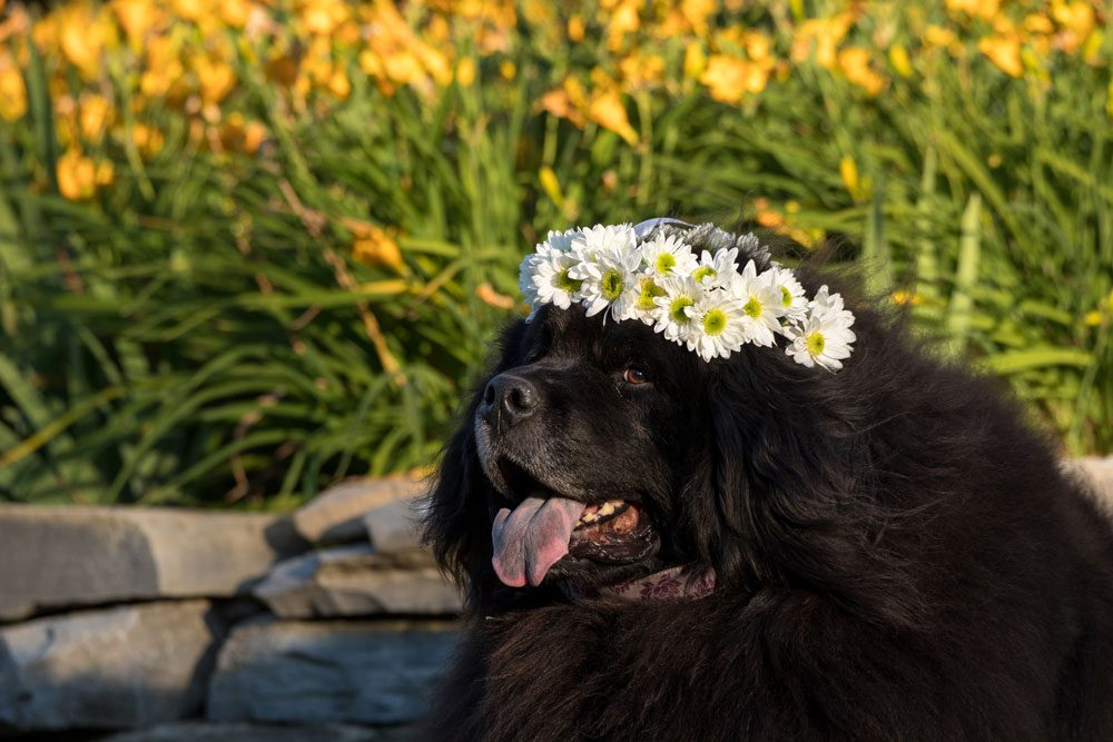 Newfoundland dog wearing crown of daisies