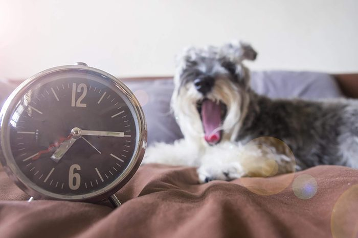 Dog yawning in bed