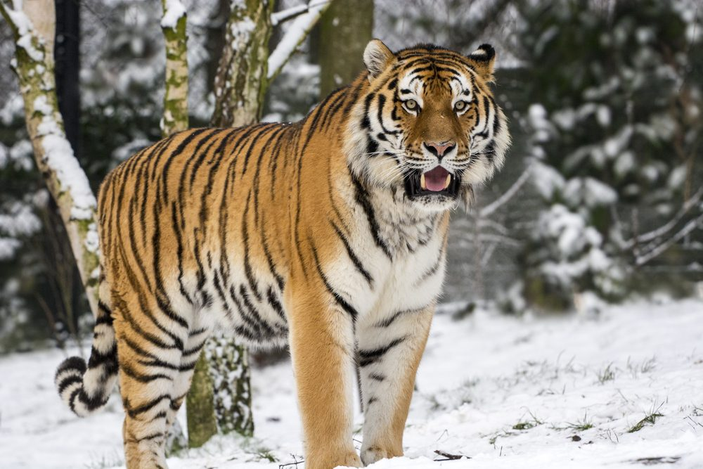 Big Cat in the first snow