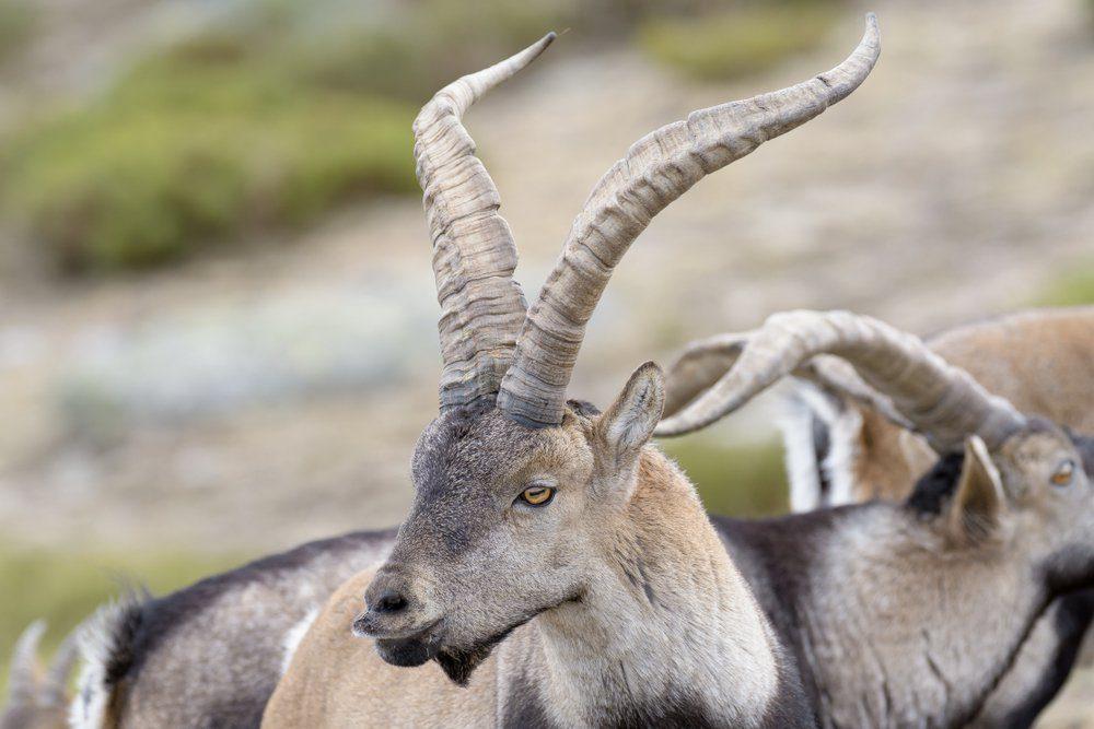 Spanish Wild Goat - Iberian Ibex