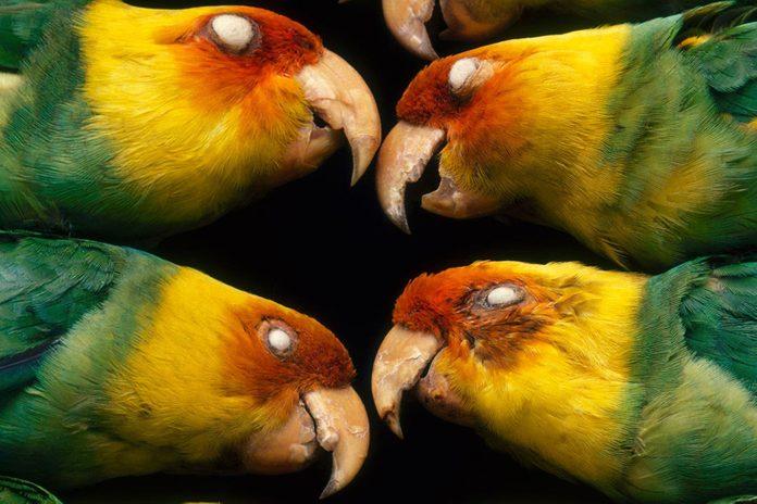VARIOUS Extinct Carolina parakeets, Conuropsis carolinensis carolinesis, in museum, Philadelphia