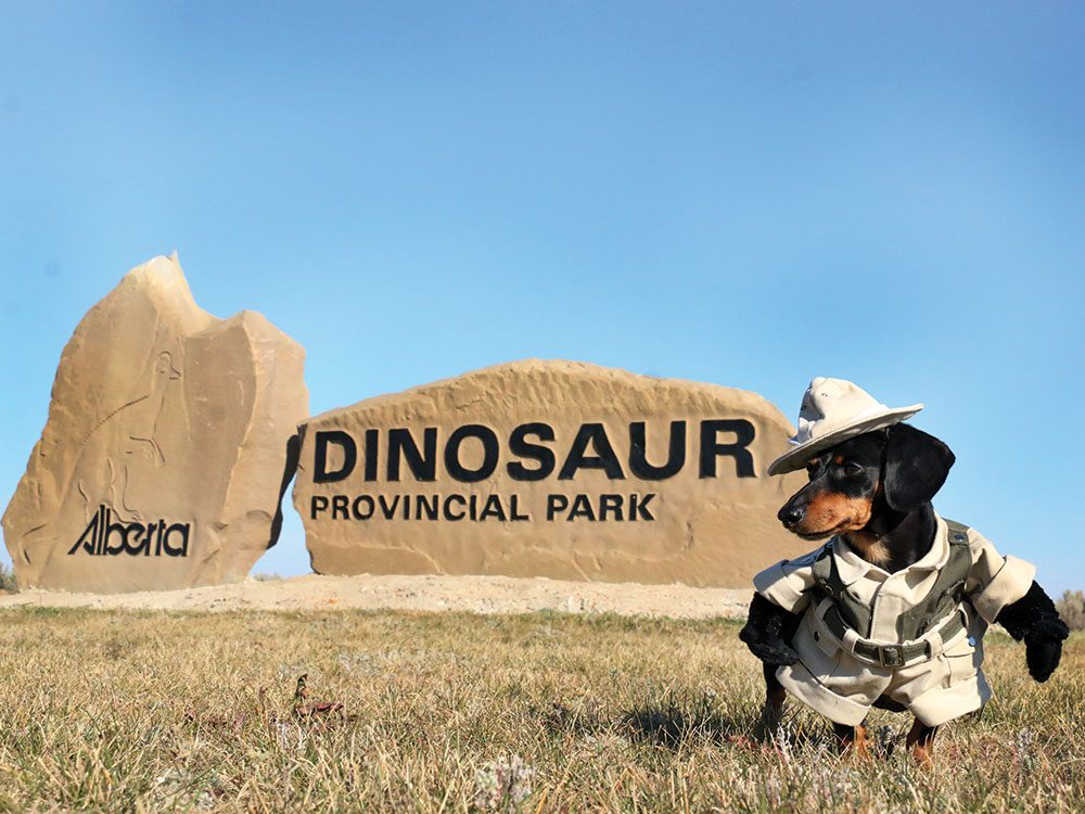 Crusoe the Celebrity Dachshund in Dinosaur Provincial Park, Alberta
