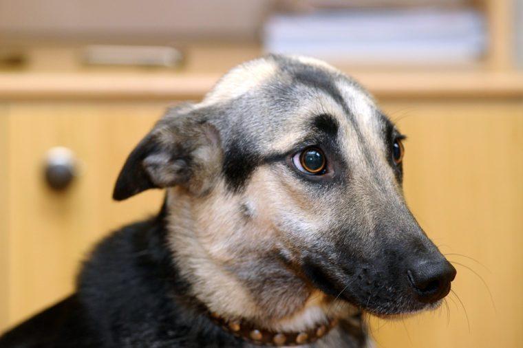 Dog with flat ears