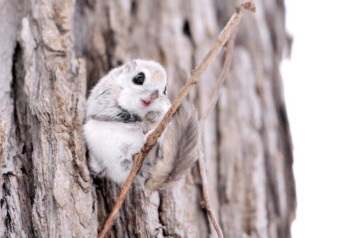 Siberian flying squirrel (AKA Russian flying squirrel)