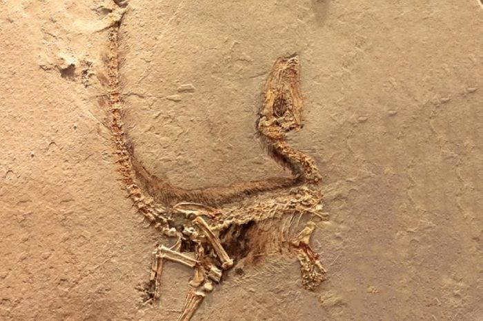 Fukui, Japan - February 22 2016, fossil of Sinosauropteryx the first dinosaur fossil ever found that showed evidence of having feathers, that is transitional between dinosaurs and modern birds