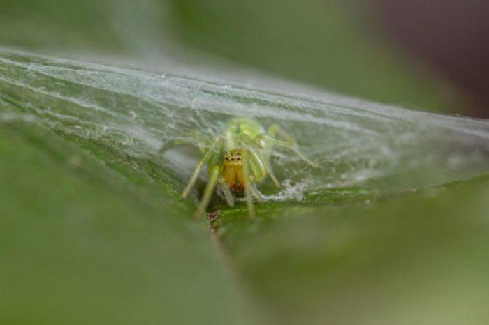 Green Leaf Web Spider - Nigma walckenaeri