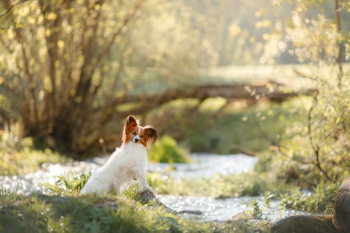 Dog papillon in the park on the river. Pet on the nature in the morning