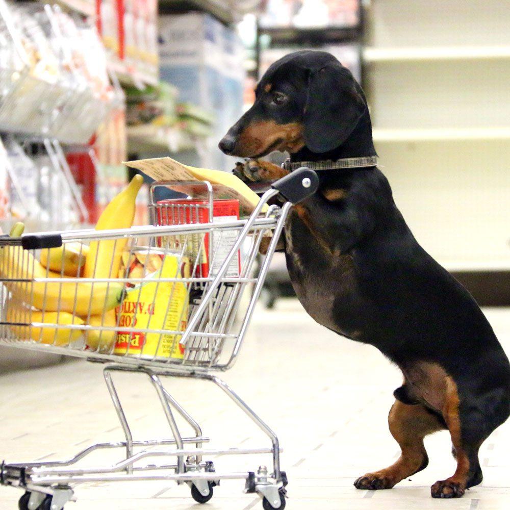 Robinson Crusoe the Celebrity Dachshund grocery shopping