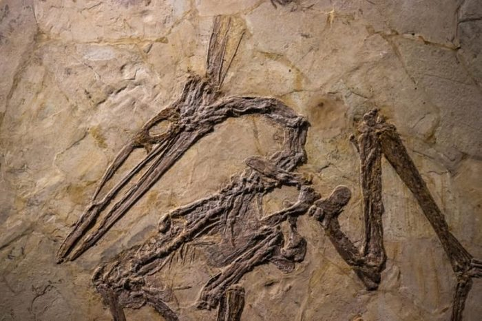 Shanghai, China - April 13 2018, fossil of Pterosaur at Shanghai Natural History Museum. Pterosaurs were winged reptiles that lived alongside dinosaurs, the first vertebrates to evolve powered flight.