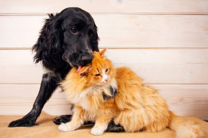 dog licks a cat, love, friendship, big and small