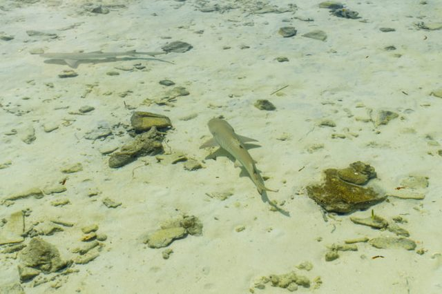 Two small reef shark swims in transparent water of Indian ocean. Reef shark in shallow water. Maldives